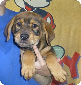 Great Pyrenees/Mastiff Mix Puppy for adoption in Oviedo, Florida - Lilly