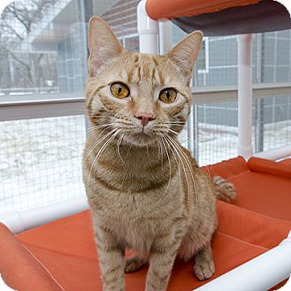 Domestic Shorthair Cat for adoption in Wilmington, Delaware - Squeaks