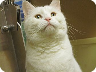 Domestic Shorthair Cat for adoption in Gainesville, Virginia - Lily