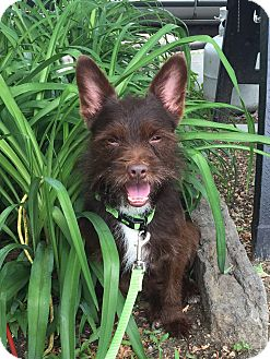 Brussels Griffon/Chihuahua Mix Dog for adoption in Colebrook, Connecticut - Mr. Miyagi