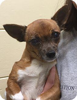 Chihuahua Dog for adoption in Orlando, Florida - Gina