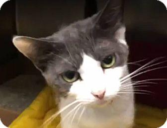 Domestic Shorthair Cat for adoption in Amherst, Massachusetts - Kiki
