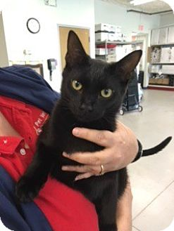 Domestic Shorthair Cat for adoption in McHenry, Illinois - Percy