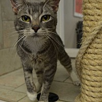 Domestic Shorthair Cat for adoption in San Angelo, Texas - Amethyst
