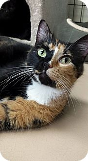 Domestic Shorthair Cat for adoption in Maryville, Missouri - Pretty Girl