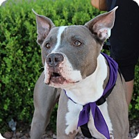 American Pit Bull Terrier Mix Dog for adoption in Las Vegas, Nevada - JUDAH