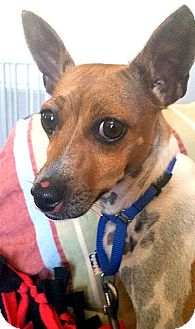 Rat Terrier/Jack Russell Terrier Mix Dog for adoption in Tijeras, New Mexico - Freckles