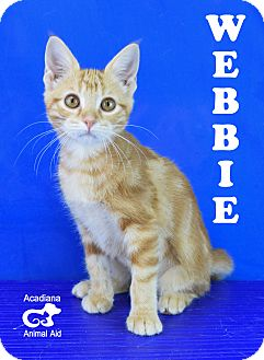 Domestic Shorthair Kitten for adoption in Carencro, Louisiana - Webbie