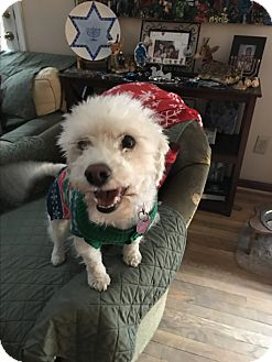 Bichon Frise/Poodle (Miniature) Mix Dog for adoption in Baltimore, Maryland - Cooper