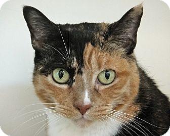 Calico Cat for adoption in San Leon, Texas - Bridgett
