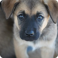 Shepherd (Unknown Type)/Labrador Retriever Mix Puppy for adoption in Hooksett, New Hampshire - Trinity D. ADOPTION PENDING