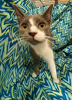 Domestic Shorthair Kitten for adoption in Baton Rouge, Louisiana - Dale