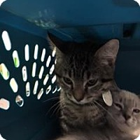 Adopt A Pet :: Tiger - Gulfport, MS