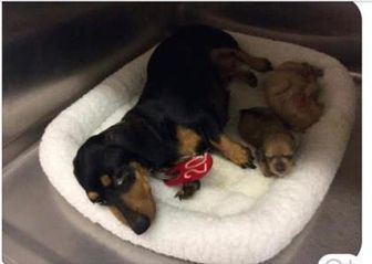 Dachshund Mix Dog for adoption in Fairfax Station, Virginia - Sally Pup #3