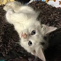 Adopt A Pet :: White Fluffy Kittens - Salem, NH