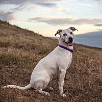 Pointer Mix Dog for adoption in Raleigh, North Carolina - Bella