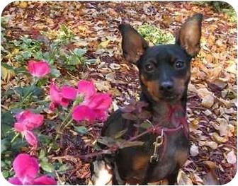 Miniature Pinscher Puppy for adoption in Chicago, Illinois - Roxie