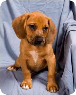 Beagle/Boxer Mix Puppy for adoption in Anna, Illinois - ETHAN