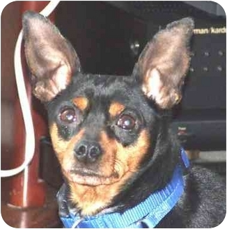 Miniature Pinscher Dog for adoption in Pelzer, South Carolina - Musketeer Moe