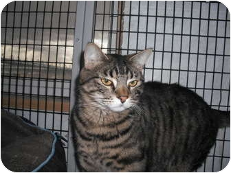 Domestic Shorthair Cat for adoption in Rock Springs, Wyoming - Shekinah