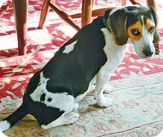 Beagle Dog for adoption in Brighton, Michigan - Pocus