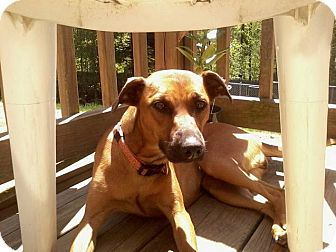 Whippet Mix Dog for adoption in Lebanon, Maine - Mia and Gia-LOCAL