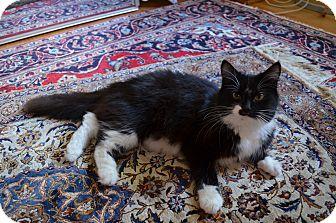 Domestic Mediumhair Cat for adoption in Cedar, Minnesota - Shadow