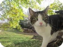 Domestic Shorthair Cat for adoption in Okotoks, Alberta - Saxon
