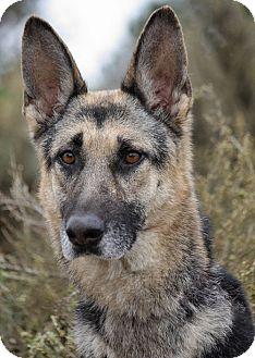 German Shepherd Dog Dog for adoption in Los Angeles, California - Anya von Amberg