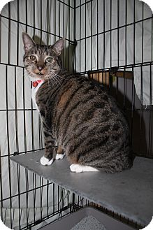 Domestic Shorthair Cat for adoption in North Branford, Connecticut - Louie