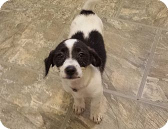 Tibetan Terrier/Terrier (Unknown Type, Small) Mix Puppy for adoption in Houston, Texas - NOODLES