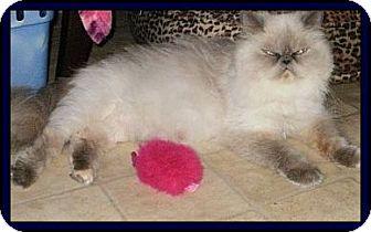 Himalayan Cat for adoption in Virginia Beach, Virginia - Promise