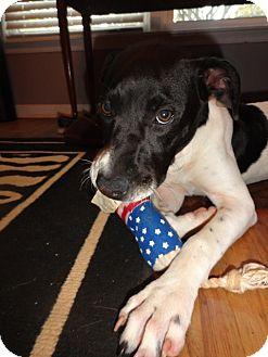 Pointer/Labrador Retriever Mix Puppy for adoption in Norwich, Connecticut - Boo