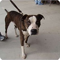 American Pit Bull Terrier Mix Dog for adoption in Blanchard, Oklahoma - Hollywood