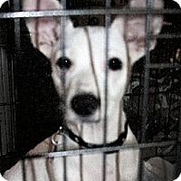 Adopt A Pet :: Halo - North Palm Beach, FL