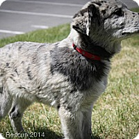 Adopt A Pet :: Bono - Broomfield, CO