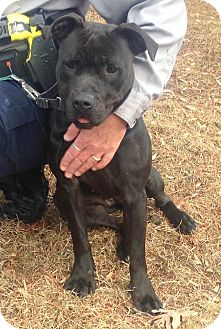 Labrador Retriever/Pit Bull Terrier Mix Dog for adoption in Bloomfield, Connecticut - Vixen