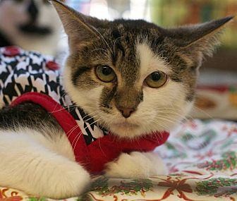 Domestic Shorthair Kitten for adoption in New York, New York - Karsten