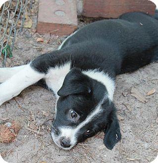 Feist Mix Puppy for adoption in Sagaponack, New York - Alec
