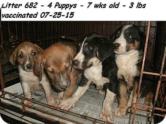 Collie/Border Collie Mix Puppy for adoption in Chicago, Illinois - Collie mix pups!ADOPTED!