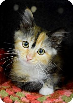 Domestic Mediumhair Kitten for adoption in Dublin, California - Spiccoli