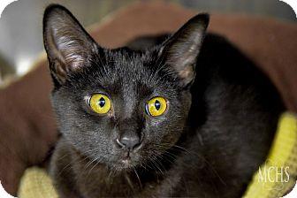 Domestic Shorthair Cat for adoption in Martinsville, Indiana - Rosetta