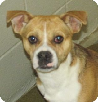 Pug/Beagle Mix Dog for adoption in Aiken, South Carolina - DELAIRE