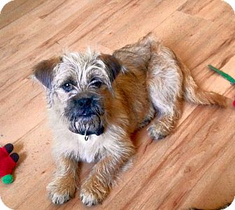 Border Terrier/Brussels Griffon Mix Puppy for adoption in Southington, Connecticut - Wyatt