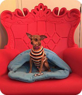 Chihuahua Mix Dog for adoption in San Francisco, California - Sunny