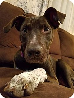 Dogue de Bordeaux/American Pit Bull Terrier Mix Puppy for adoption in Mechanicsburg, Pennsylvania - Bocca