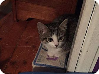 Domestic Shorthair Kitten for adoption in THORNHILL, Ontario - Croissant