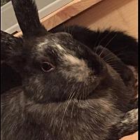 Adopt A Pet :: Buffalo- Star Sapphire - Erie, PA
