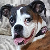 Boxer Dog for adoption in Central & West Florida, Florida - Roxy Rayne