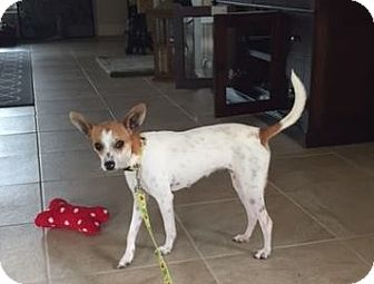 Chihuahua/Rat Terrier Mix Puppy for adoption in Pittsburgh, Pennsylvania - Penelope